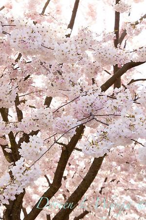 Prunus x yedoensis flowering cherry_6198