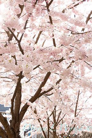 Prunus x yedoensis flowering cherry_6203