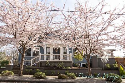 Prunus x yedoensis flowering cherry_6195