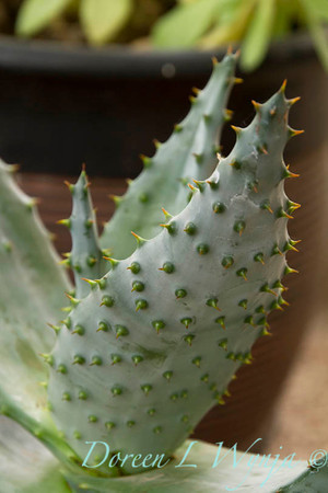 Aloe marlothii_1020