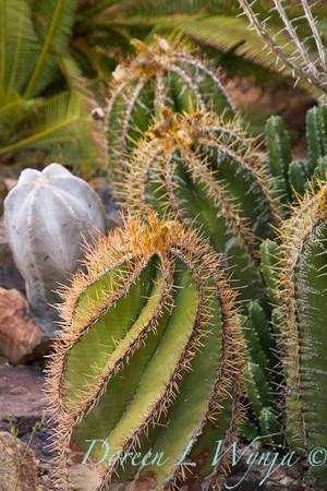 Astrophytum ornatum_006