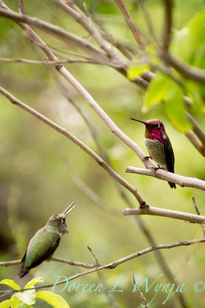 Calypte anna hummingbird_4821