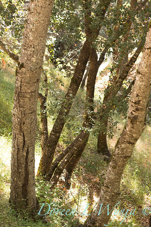 Quercus agrifolia trunks_4609