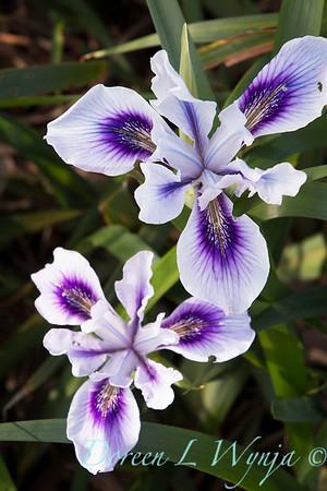 Iris douglasiana_1184