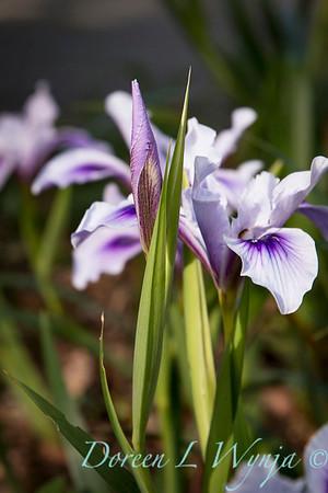 Iris douglasiana_1183