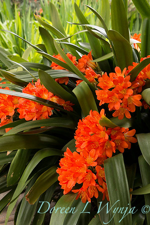 Clivia miniata orange_1431