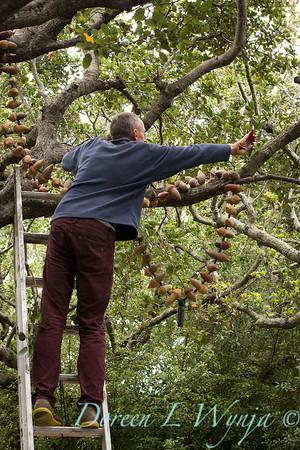 Davis hanging acorn mala in Quercus agrifolia_0794