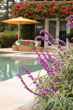 Distictis buccinatoria - Salvia leucantha border poolside - outdoor living_0883