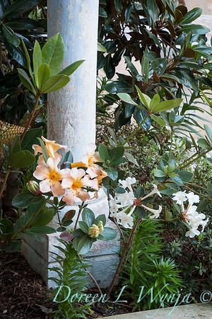 Vireya Rhododendron Harry Wu - Vireya Highland Debutante_6032