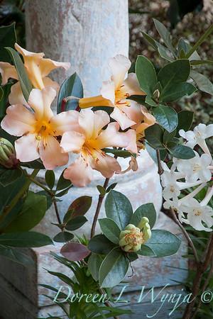 Vireya Rhododendron Harry Wu - Vireya Highland Debutante_6033