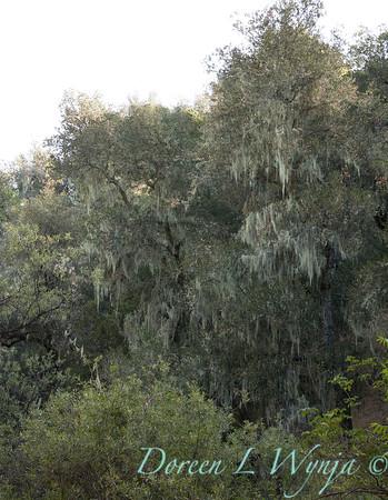 Quercus lobata - Ramalina menziesii_4554