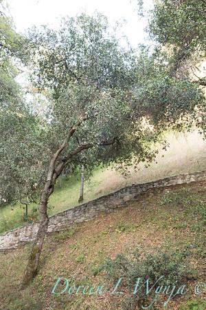 Quercus agrifolia - stonework steps_4477