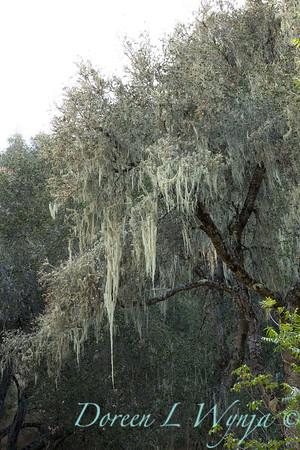 Quercus lobata - Ramalina menziesii_4555