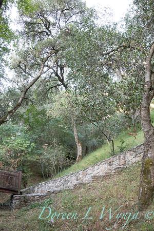 Quercus agrifolia - stonework steps_4472