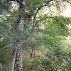 Quercus agrifolia trunk - wooden ladder_4613