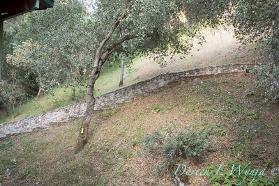 Quercus agrifolia - stonework steps_4469
