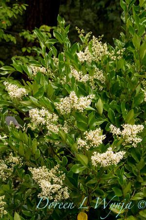 Ligustrum japonicum Texanum_025M