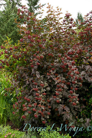 Physocarpus opulifolius Diabolo_075
