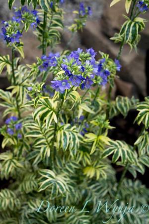 Polemonium caeruleum Brise D'Anjou_012M