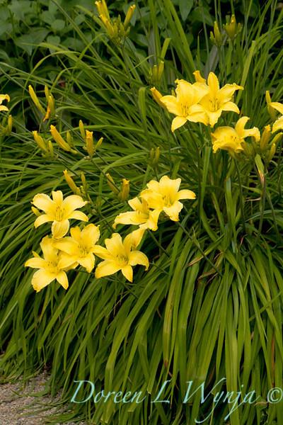 Hemerocallis yellow_018