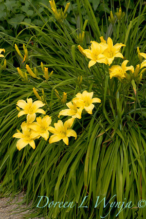 Hemerocallis yellow_018