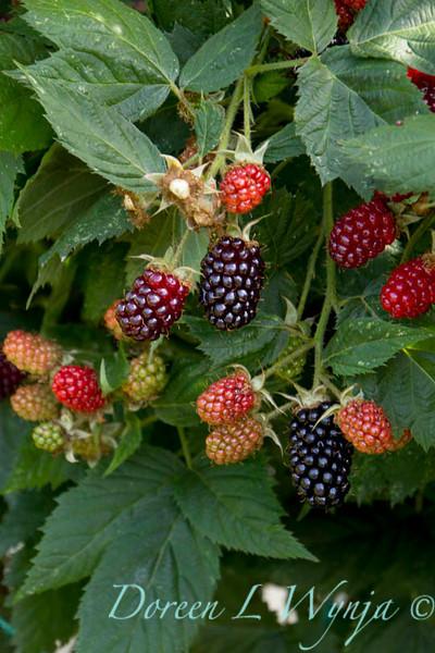 Rubus Marionberry_005