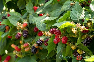 Rubus Marionberry_003