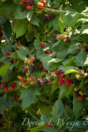 Rubus Marionberry_001
