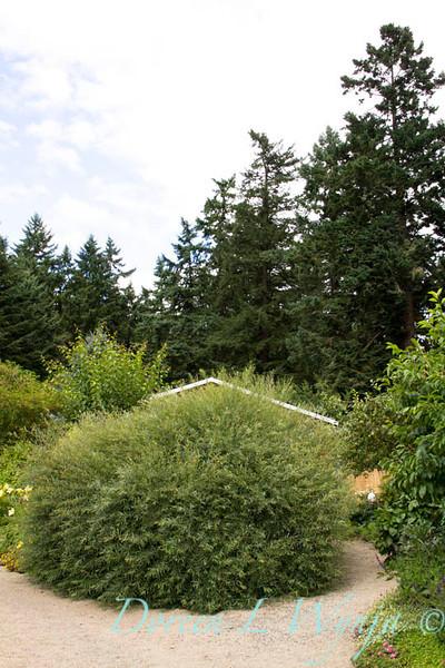 Salix purpurea Nana_019