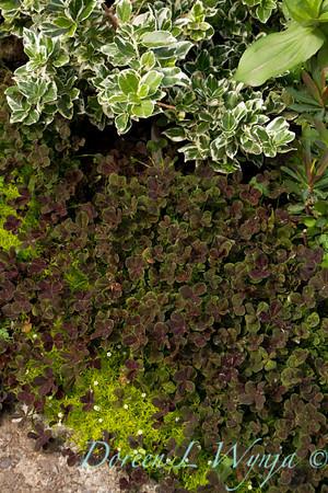 Trifolium repens Atropurpureum_001