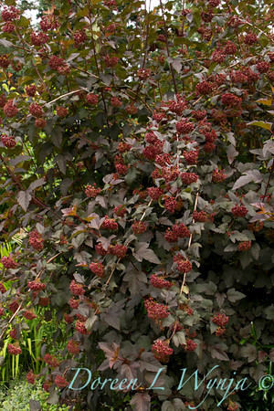 Physocarpus opulifolius Diabolo_077