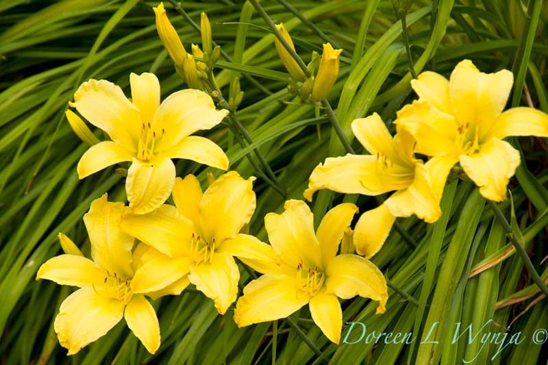 Hemerocallis yellow_019