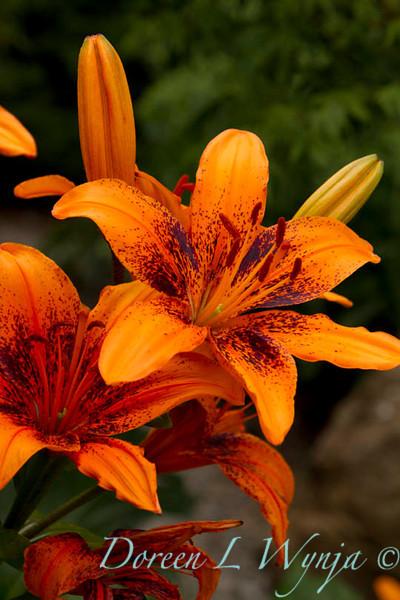 Lilium Orange Art_004