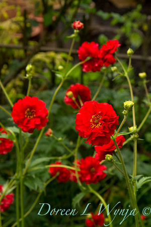 Geum chiloense Red Dragon_001