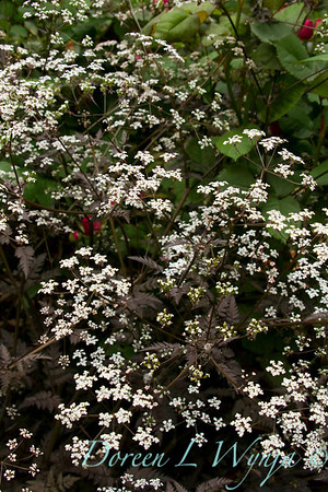 Anthriscus sylvestris Ravenswing_041