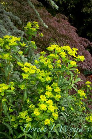 Euphorbia polychroma_057