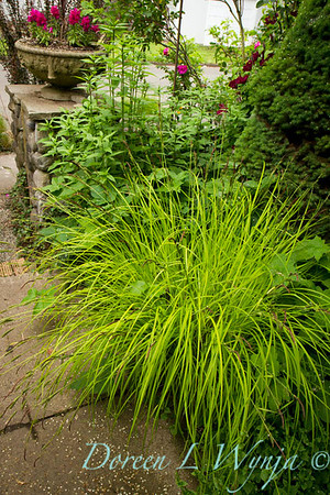 Carex elata Bowles Golden_013