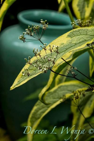 Symphytum uplandicum Axminster Gold_006