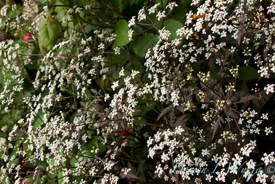 Anthriscus sylvestris Ravenswing_040
