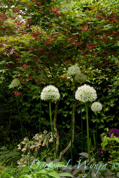 Allium stipitatum Mount Everest_001