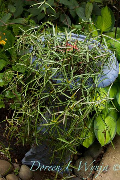 Trachelospermum asiaticum Theta_002