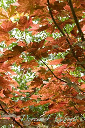 Acer pseudoplatanus Eskimo Sunset_030