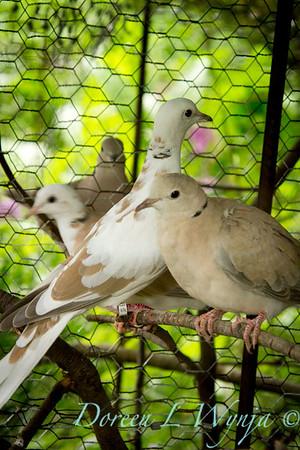 Doves_030