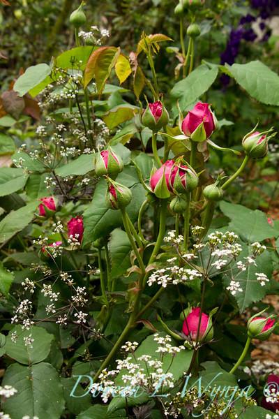 Rose buds_7289