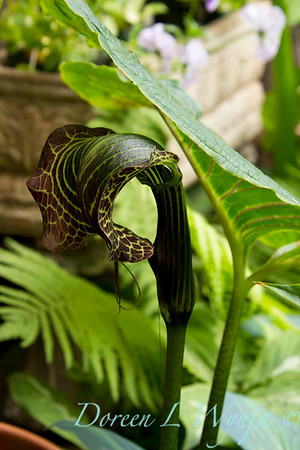 Arisaema griffithii_002