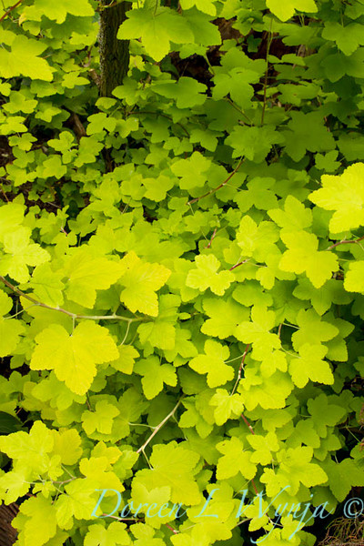 Lavatera oilbia Aurea_001
