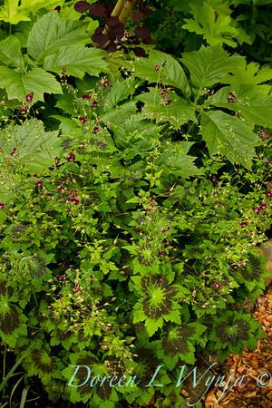 Geranium phaeum Samobor_008