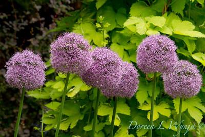 Allium Globemaster_006