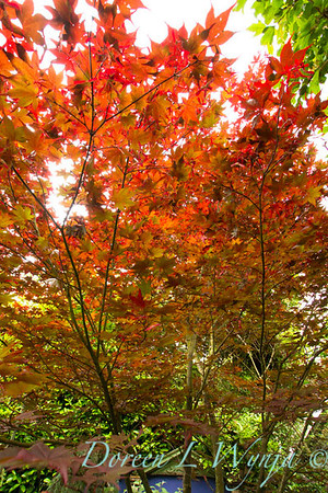Autumn Acer_7847