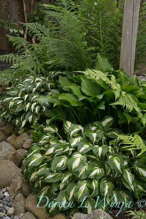 Hosta 'Night Before Christmas'_0410